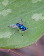 Blue fly-small