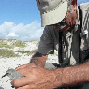 Brent measuring Red Knot - photo by Bea Harrison