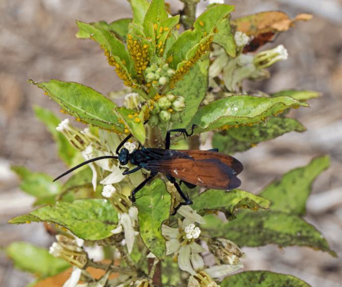 Trantula Hawk on Zizotes milkweed
