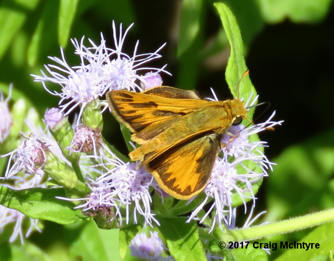 Fiery Skipper (Hylephila-phyleus)