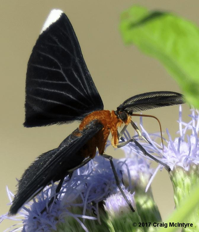 White-tipped Black Moth (Melanchroia chephise)