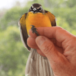 Yellow-breasted Chat - photo by Brigid Berger