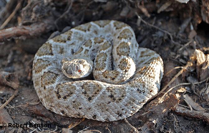 Beware Of Baby Rattlesnakes Mid Coast Chapter Texas