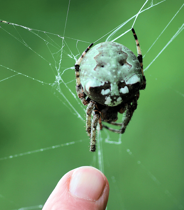 """I discovered """"Charlotte"""" (that's what I've named her), this huge orb-weaver, when I accidentally pushed my face into her six-foot wide web.  She is the size of a walnut and as heavy as a tarantula.  She wears a wonderful disguise that makes her resemble common lichen.  She has taken up residence below the limbs of a hackberry tree where I've been visiting her every day.  Robert Benson Photo."""
