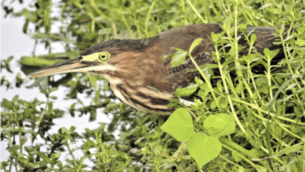 Young green heron hunting lunch