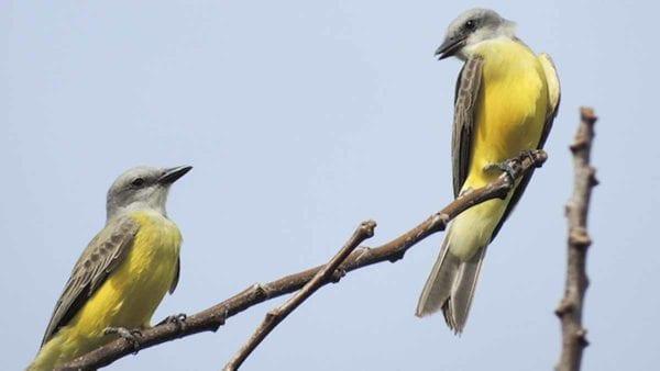 Couch's kingbirds