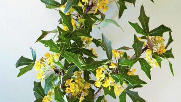 Agarita leaves and flowers