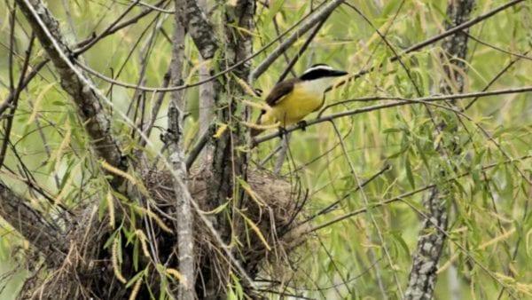 Great kiskadee at nest