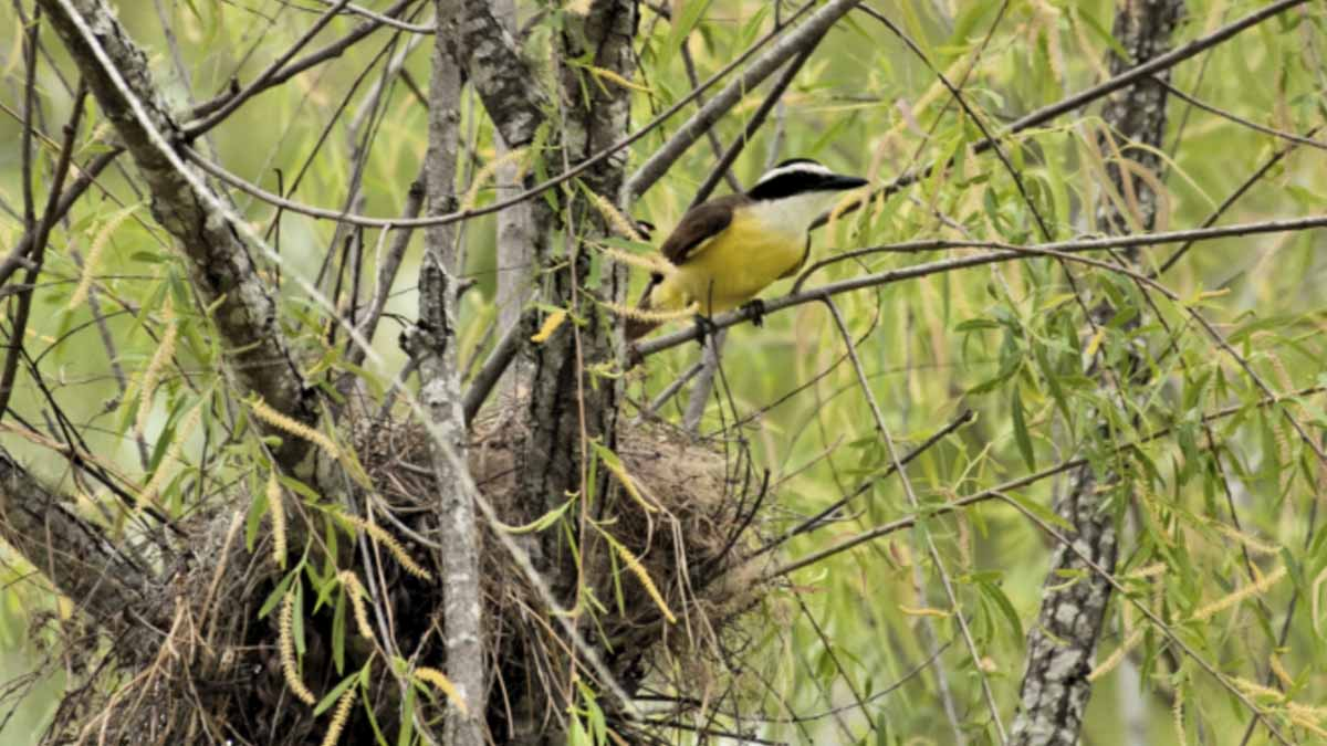 Great kiskadee at nest
