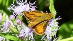 Fiery skipper butterfly on Padre Island mistflower