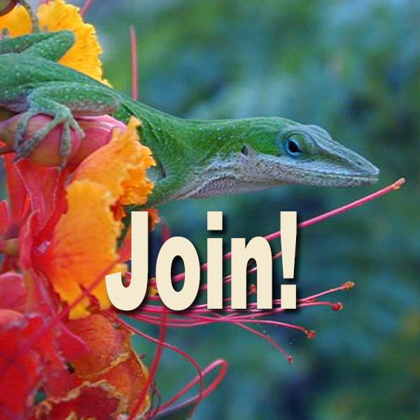 Green anole on Pride of Barbados - join button