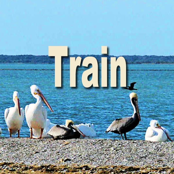 White and brown pelicans - train button