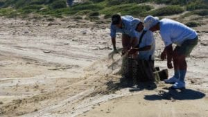 Volunteers prepare the net to capture red knots.