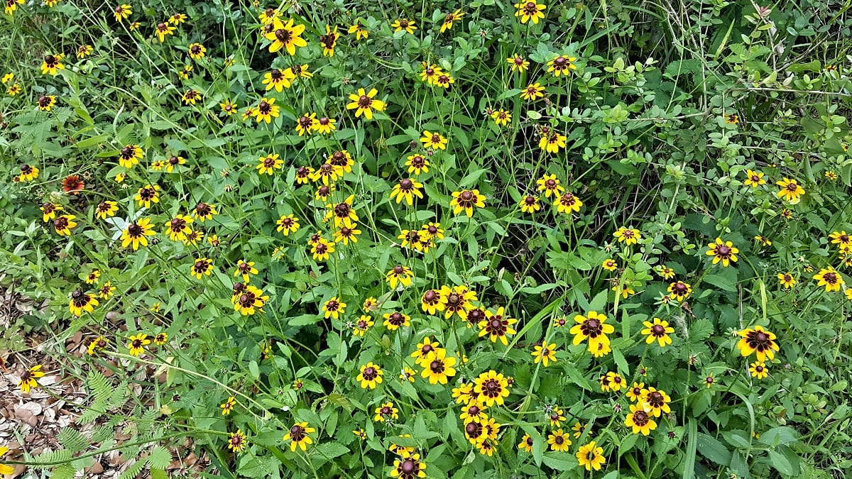 Brown-eyed Susan flowers